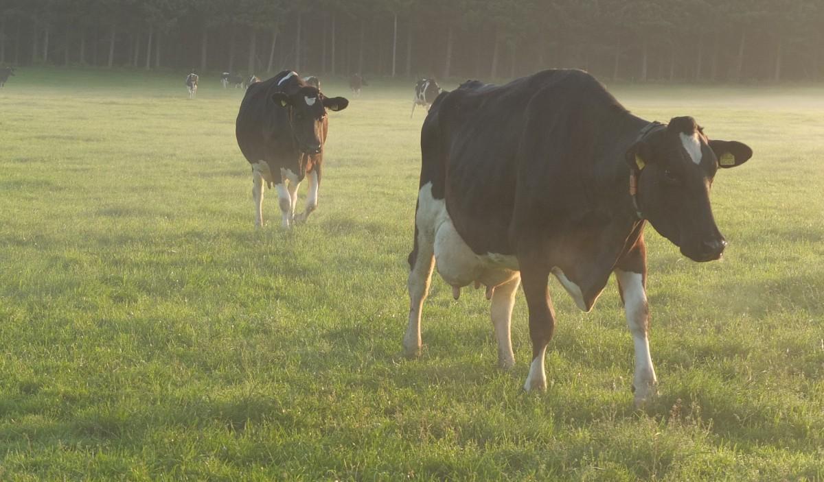 Die Kühe kommen zumMelken