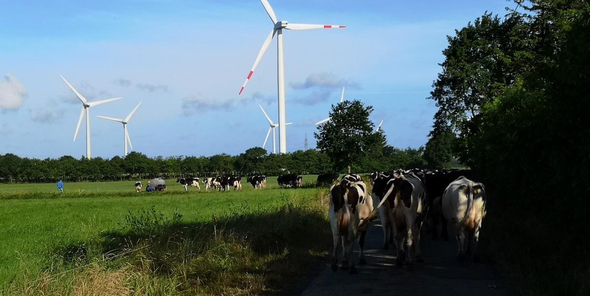 Mit Kühen unterwegs