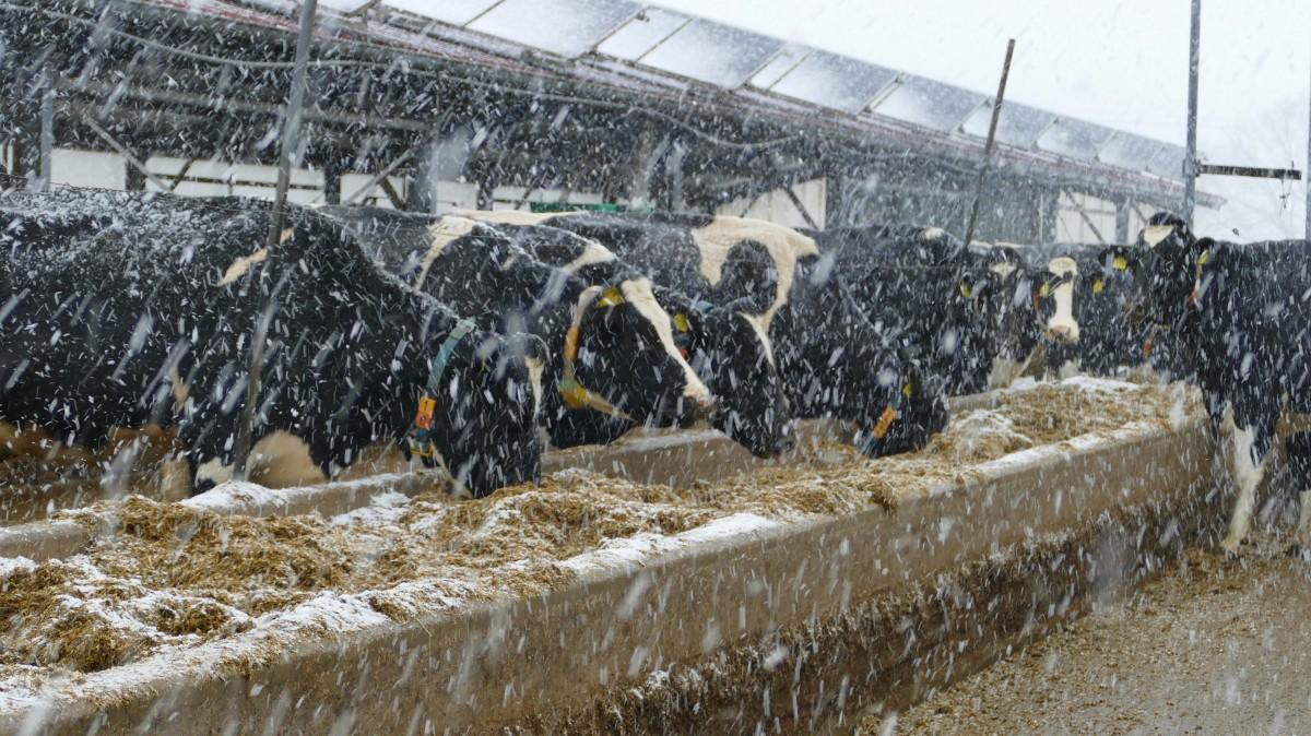 Offenstall – Wie geht es den Kühen imWinter?